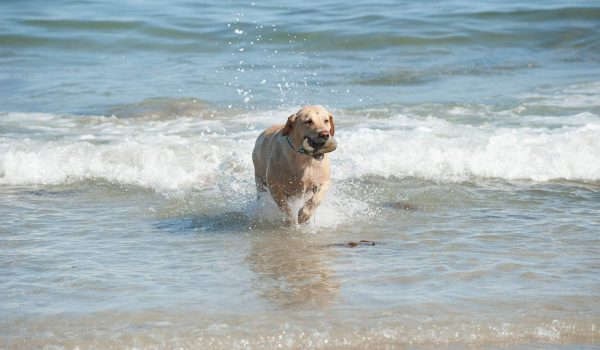 Labrador in sea