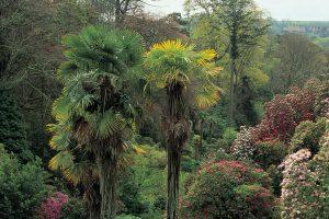 Chusan Palms