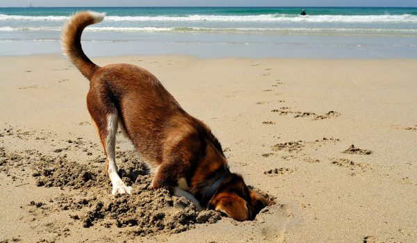 dog digging in sand